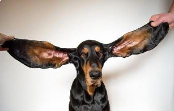 منها أطول أذن لكلب.. عجائب وغرائب في تسجيلات جينيس 2022