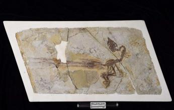 منذ 120 مليون عام.. أول طائر يهز ريش ذيله في التاريخ